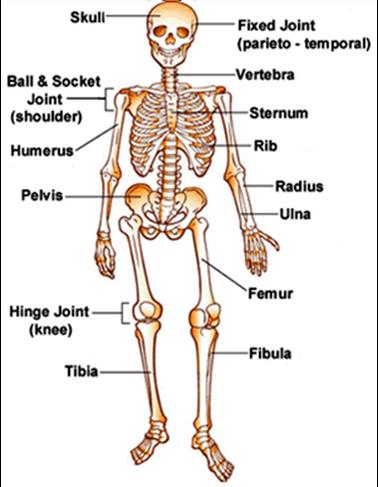 Skeletal System Lauren Kern Hour1